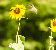 Humming Sunflower by mcstory
