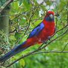 Crimson Rosella at Lamington by Michael Matthews