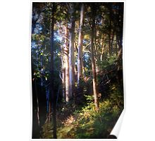 Evening light and Tall Timbers Poster