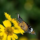 Sipping Nectar by Laura Sykes