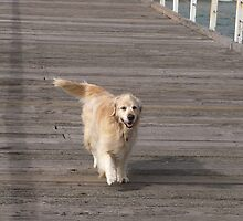 Leading his owner a walk down the Jetty, Henley Beach, Adelaide. by Rita Blom
