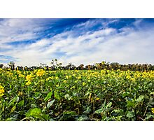Yellow Field  Photographic Print