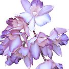 ORCHID ORCHID by Thomas Barker-Detwiler