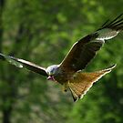 Red Kite by Rob Parsons