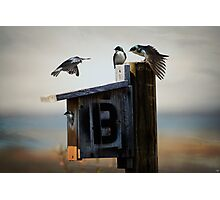 Tree Swallows Photographic Print
