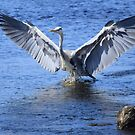 Heron: In a Flap by Rob Parsons