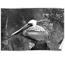 pelican blue Poster