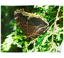 Morning Mourning Cloak Poster