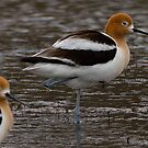 One-Legged Avocet  by Ken McElroy