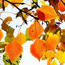 Manchurian Pear Autumn Leaves by Gabrielle  Lees