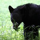 Black Bear Snack Time by goldnzrule