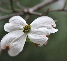 The Dogwood Legend..... by Poete100