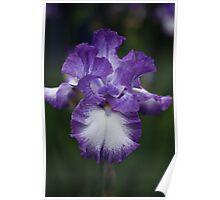 Iris white & purple Poster