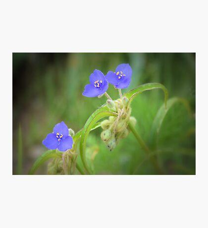 Virginia Spiderwort Photographic Print