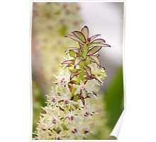 Pineapple Lily Poster