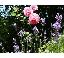 Roses and lavender Photographic Print