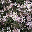 Wall of Blossoms - Montana Clematis by BlueMoonRose