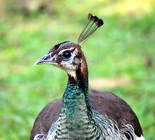 A peahen by sutapa