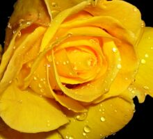 Beautiful Yellow Rose with Dew Drops Sticker