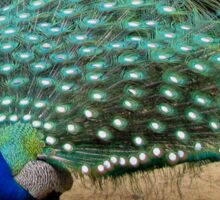 Beautiful Photograph of a Peacock Sticker