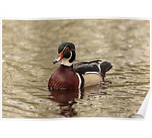 Wood Duck on a lake Poster