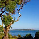 Eucalyptus, Inverloch, afternoon, Victoria by johnrf