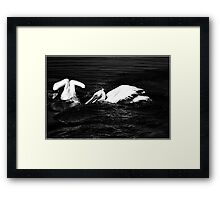 Pelicans Berg River Framed Print