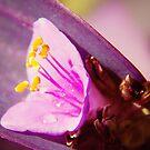 Tradescantia Pallida Purpurea by MarthaBurns