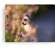 Lavender dreaming Canvas Print