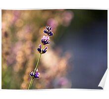 Lavender dreaming Poster