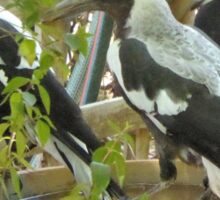 'WHOOPS! I NEED MORE SPACE', Magpies love this bird bath. Sticker