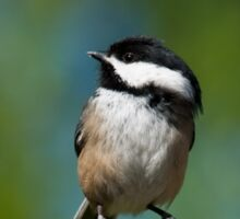 Black Capped Chickadee Perched on a Branch Sticker