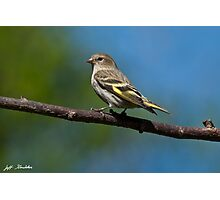 Pine Siskin Perched on a Branch Photographic Print