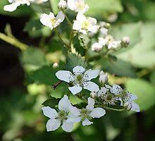 Spring Whites - wild blackberries by WalnutHill