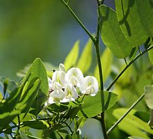 Spring Whites - black locust by WalnutHill