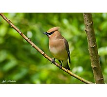 Cedar Waxwing Gathering Nesting Material Photographic Print
