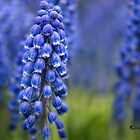 Grape Hyacinth by KatMagic Photography