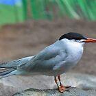 Common Tern by Poete100