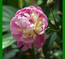 Peony Pillow by WalnutHill