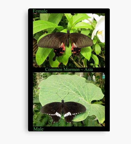 Common Mormon Butterfly (Asia) Canvas Print