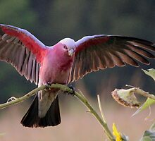 Morning Galah  by Trish Threlfall