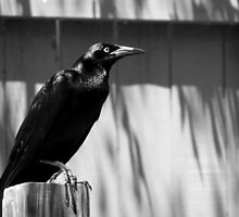 Grackle by Sandra  Aguirre