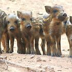 Baby Wild Boar by HolidayMurcia