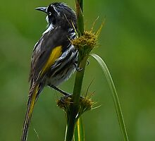 New Holland Honey-Eater by Tom Newman