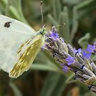 Lavender Butterfly by HolidayMurcia