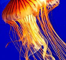 Sea Nettle by phil decocco