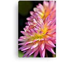 Pink dahlia flower Canvas Print
