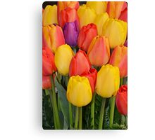 Colourful tulips bunch Canvas Print