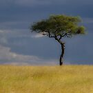 Acacia by Jeanne Frasse