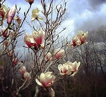 Magnolia by Linda  Makiej Photography